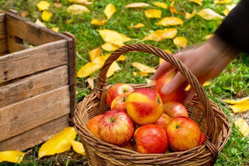 Granjero Picks Red Apples foto de archivo