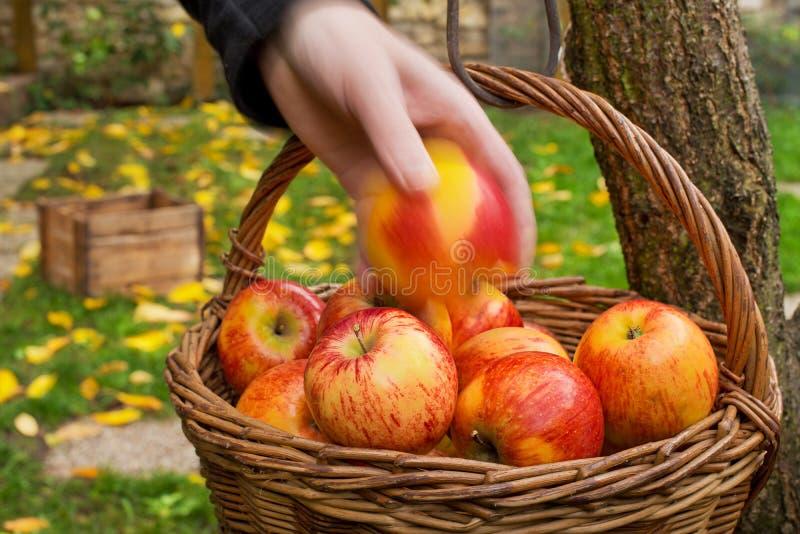 Granjero Picks Red Apples imagen de archivo