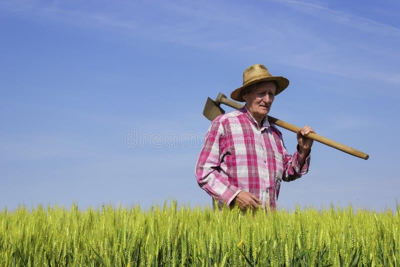 Granjero que camina a través de campo de trigo el día soleado fotografía de archivo