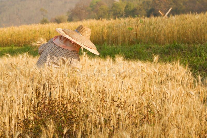 Granjero que cosecha arroz foto de archivo
