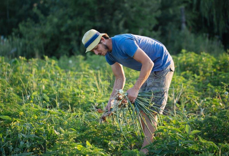 Granjero que cosecha la cebolla en el campo imagen de archivo libre de regalías