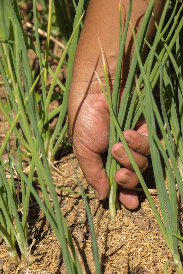 Granjero que cosecha la cebolla orgánica fresca en el campo fotos de archivo libres de regalías