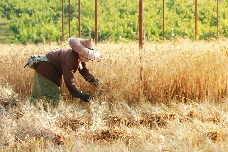 Granjero que cosecha trigo con la guadaña fotografía de archivo libre de regalías