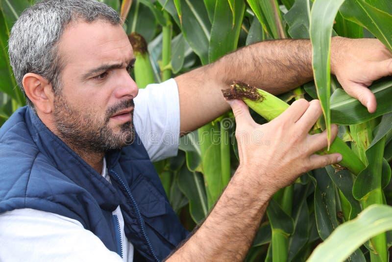 Granjero que examina la cosecha foto de archivo libre de regalías