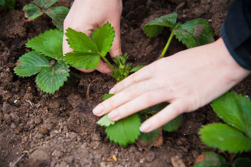 Granjero que planta almácigos jovenes fotografía de archivo libre de regalías