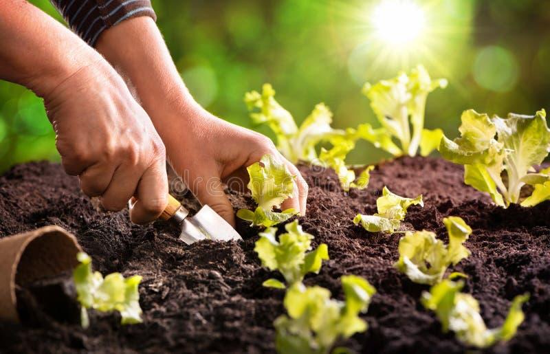 Granjero que planta almácigos jovenes de la ensalada de la lechuga fotos de archivo libres de regalías