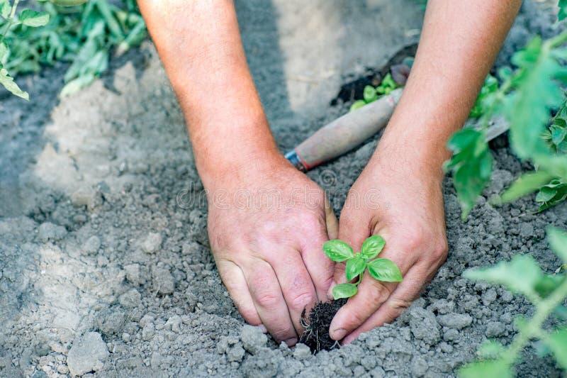 Granjero que planta almácigos jovenes de la ensalada de la lechuga en el vegetabl fotos de archivo libres de regalías