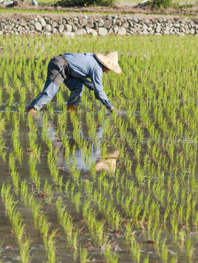 Granjero que planta el arroz de arroz en las tierras de labrantío fotografía de archivo libre de regalías