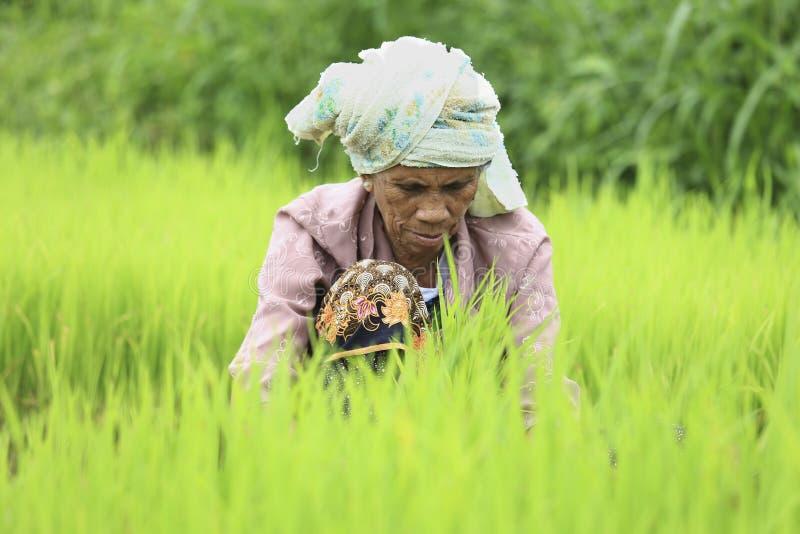 Granjero que prepara los brotes del arroz fotografía de archivo libre de regalías