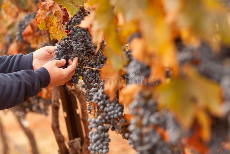 Granjero que revisa sus uvas de vino maduras fotografía de archivo libre de regalías