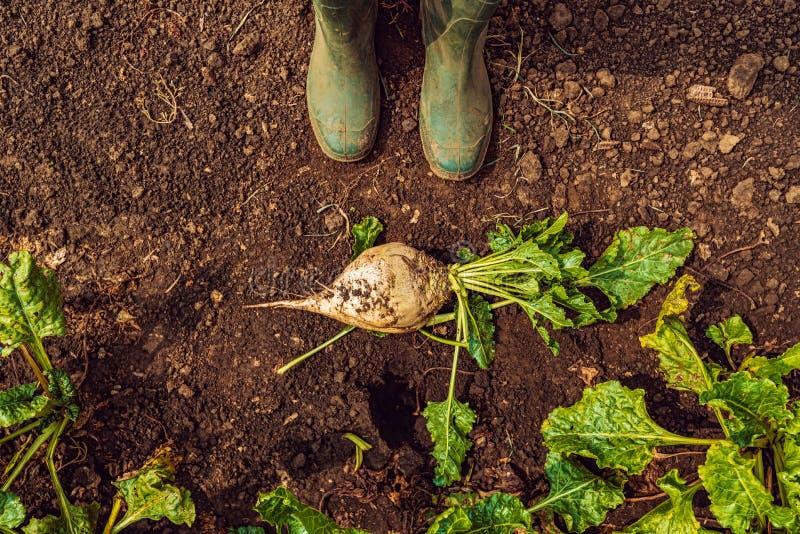 Granjero que se coloca directamente sobre el cultivo de raíces extraído de la remolacha fotos de archivo