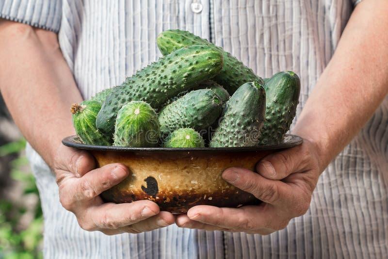 Granjero que sostiene los pepinos frescos Cosecha de las verduras foto de archivo libre de regalías