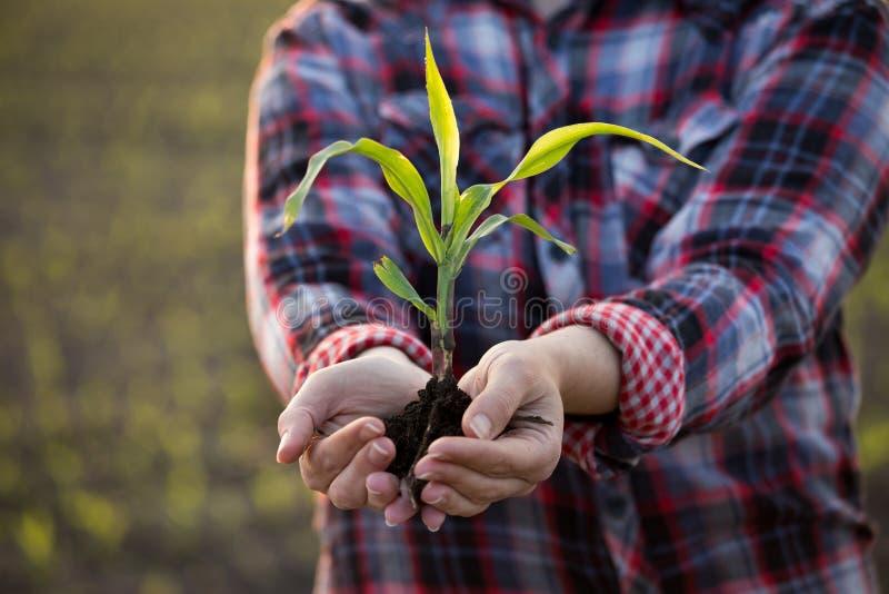 Granjero que sostiene maíz joven con el suelo en manos imagenes de archivo