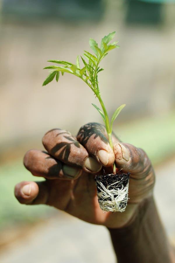 Granjero que sostiene un árbol joven del crisantemo imagen de archivo libre de regalías