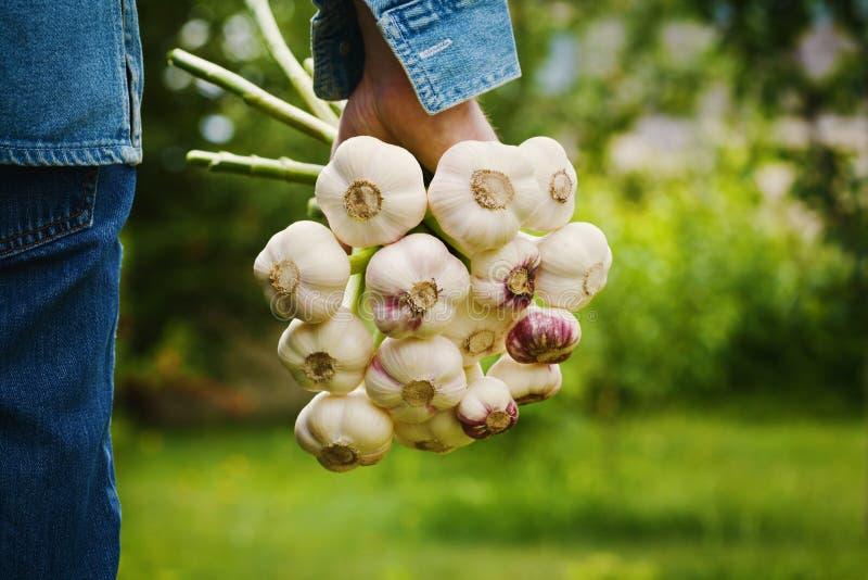 Granjero que sostiene un manojo de ajo en el jardín Vehículos orgánicos farming foto de archivo