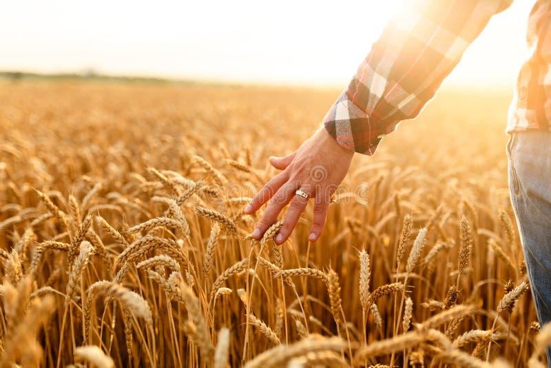 Granjero que toca su cosecha con la mano en un campo de trigo de oro Cosechando, concepto de la agricultura biológica fotografía de archivo libre de regalías
