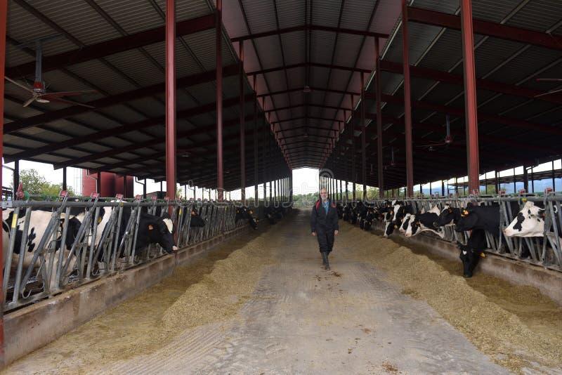 Granjero que trabaja en granja de la vaca imágenes de archivo libres de regalías