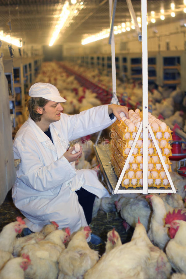 Granjero que trabaja en granja de pollo imagen de archivo