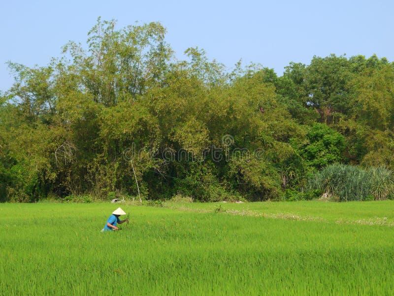 Granjero que trabaja en un campo verde grande del arroz en Asia fotografía de archivo
