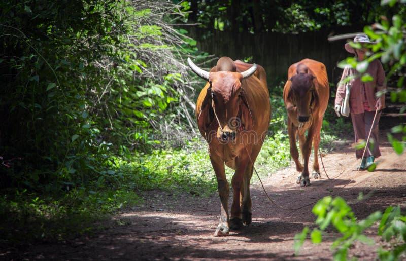 Granjero tailandés de la mujer mayor y sus vacas imágenes de archivo libres de regalías