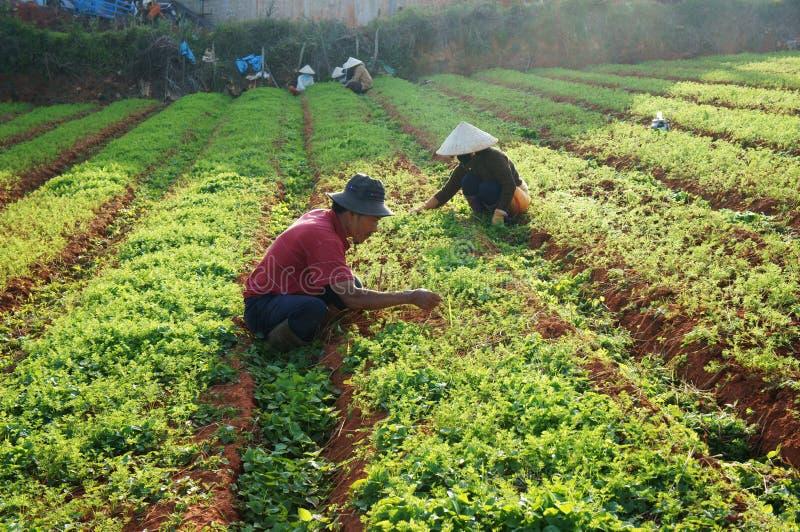 Granjero vietnamita que trabaja en campo de la zanahoria imagen de archivo