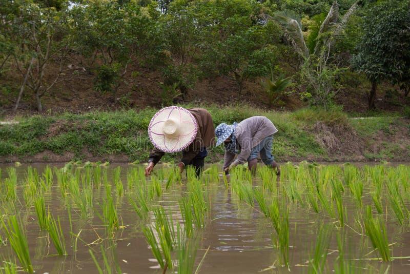 Granjeros con los almácigos de trasplante del arroz del sombrero de paja en campo de arroz imagenes de archivo