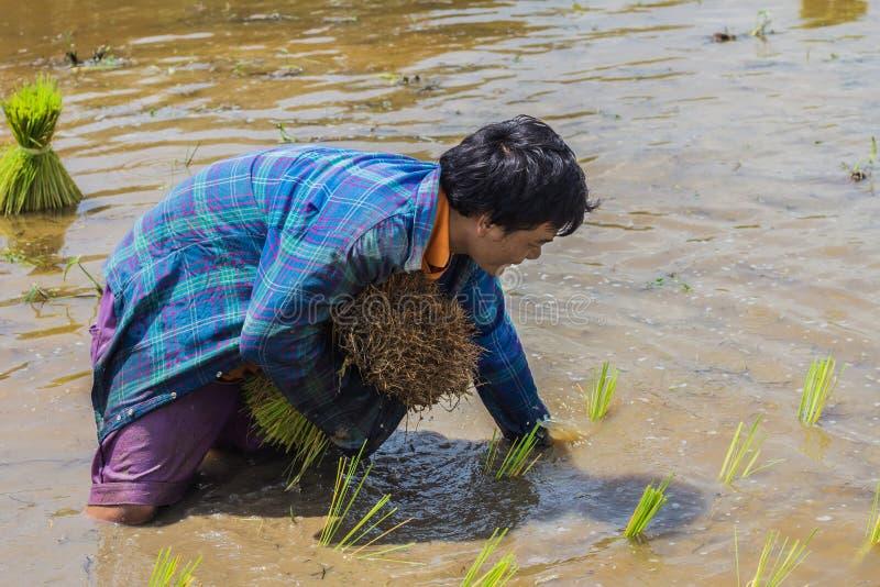 Granjeros - el cultivo de Tailandia comenzó ya en el campo, llenado de los granjeros enormes del arroz con los almácigos del arro imagenes de archivo