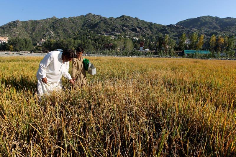 Granjeros en campos de arroz imágenes de archivo libres de regalías