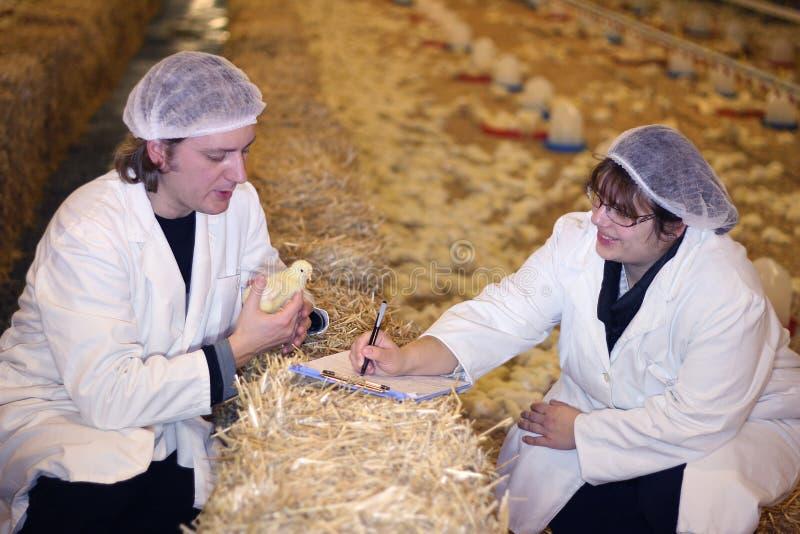 Granjeros en granja de pollo imagen de archivo