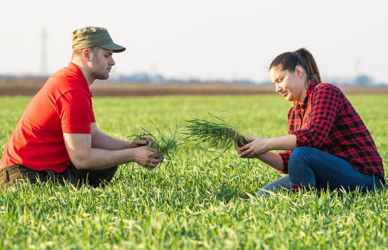 Granjeros jovenes examing campos de trigo plantados fotografía de archivo