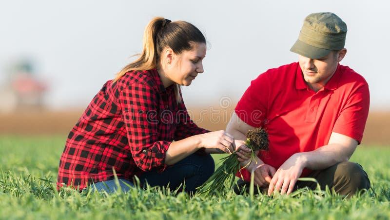 Granjeros jovenes examing campos de trigo plantados fotos de archivo