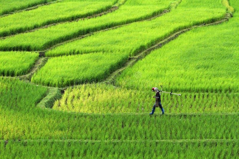 Granjeros que caminan en campo del arroz del canto Paisaje hermoso en chiang imagenes de archivo