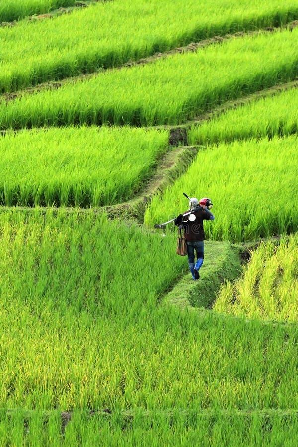 Granjeros que caminan en campo del arroz del canto Paisaje hermoso en chiang foto de archivo libre de regalías