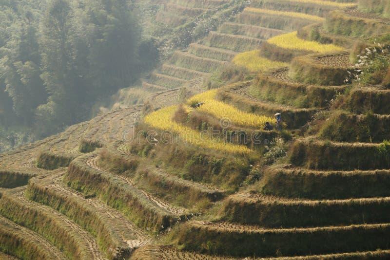 Granjeros que cosechan su arroz de arroz fotografía de archivo libre de regalías