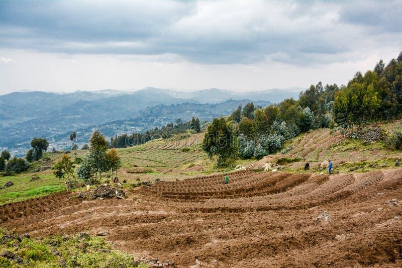 Granjeros que plantan las patatas en las montañas de Rwanda cerca de parque nacional de los volcanes imagen de archivo