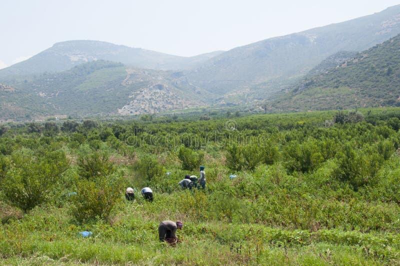Granjeros que trabajan en la estación y la máquina trilladoa de la cosecha en Aydin, Turquía egea fotos de archivo