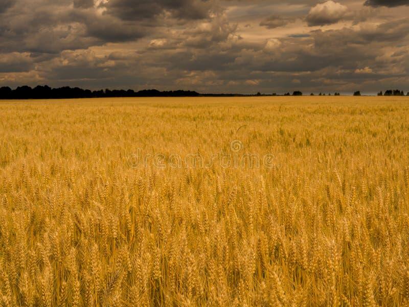Grano amarillo de la cosecha debajo del cielo tempestuoso Campo del trigo de oro fotografía de archivo