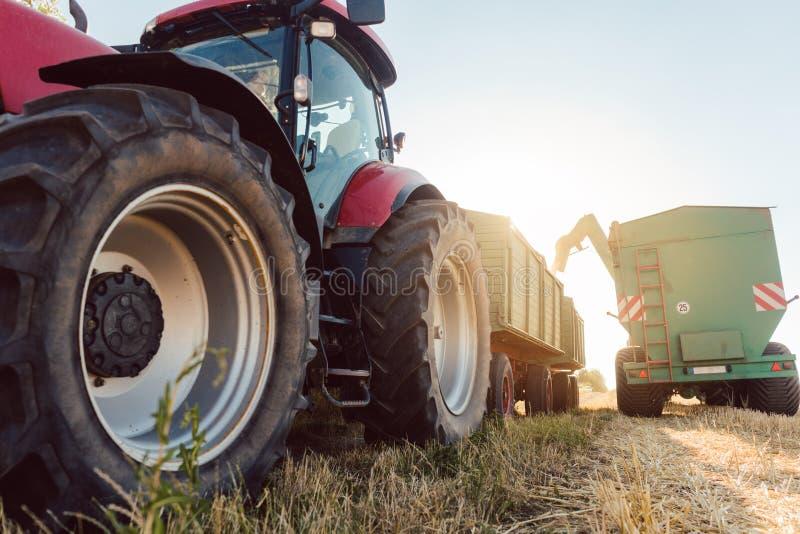 Grano che è caricato sul rimorchio per trasporto durante la stagione del raccolto fotografie stock libere da diritti