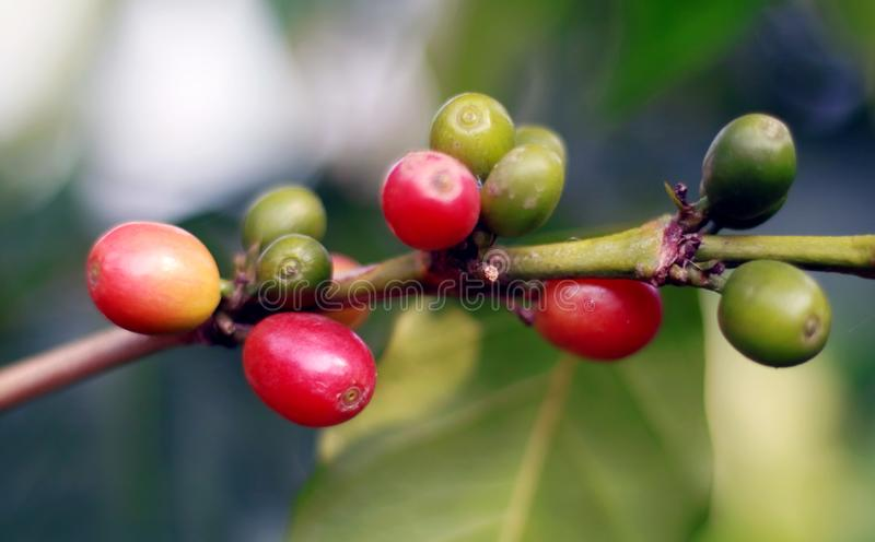 Grano de café en árbol foto de archivo libre de regalías