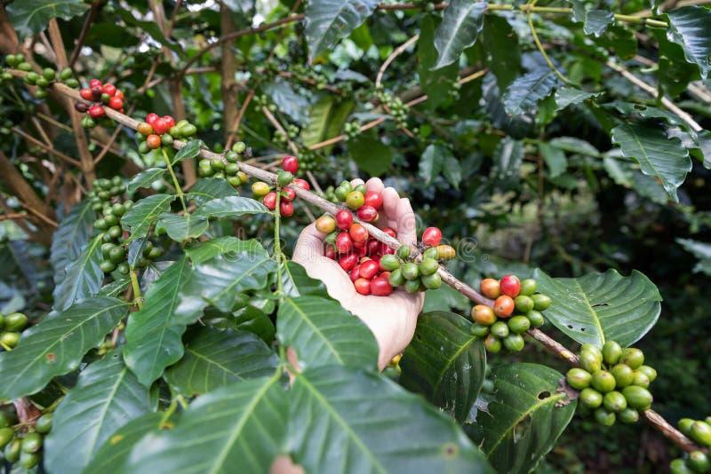 Grano de café maduro de la tenencia de la mano, grano de café del Arabica de la cosecha del trabajador del cafeto fotografía de archivo libre de regalías
