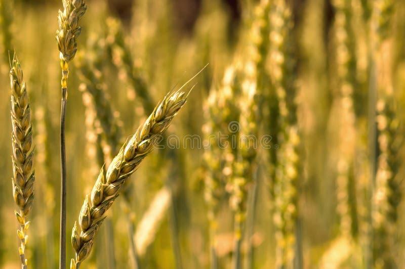 Grano de oro del campo del trigo candeal imagen de archivo