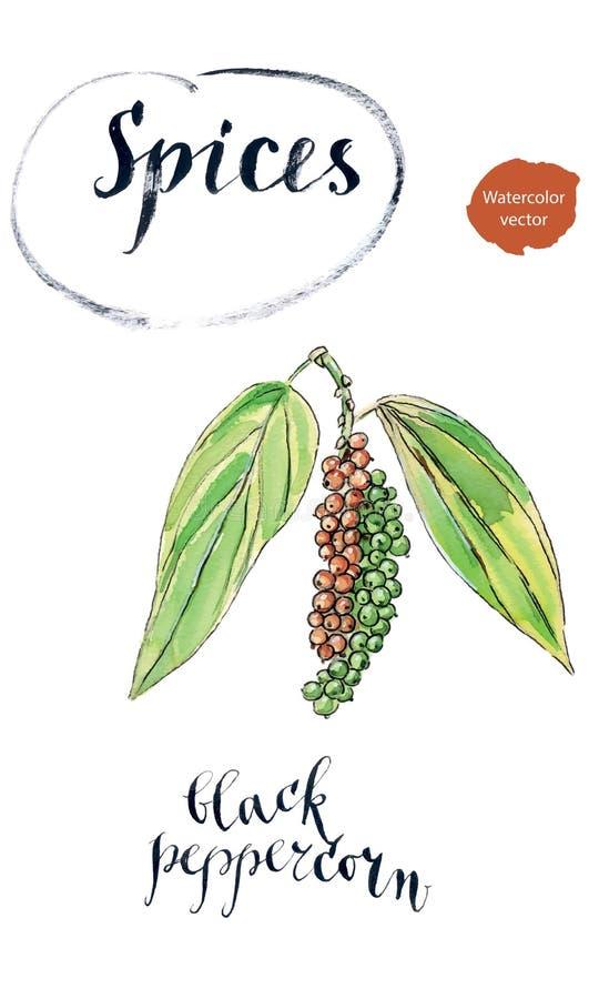 Grano de pimienta negro maduro en una rama stock de ilustración