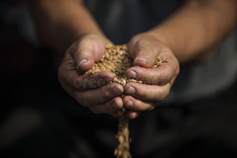 Grano del trigo en las manos 2018 imágenes de archivo libres de regalías