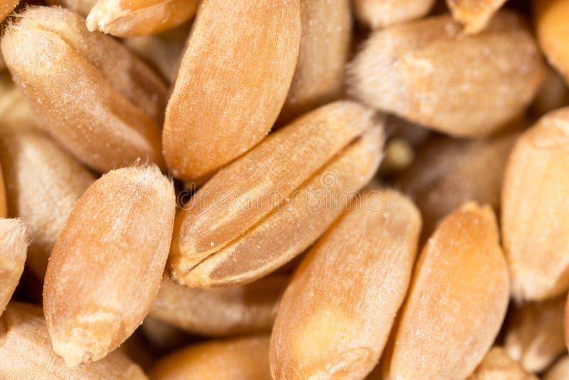 Grano del trigo Macro estupenda imágenes de archivo libres de regalías