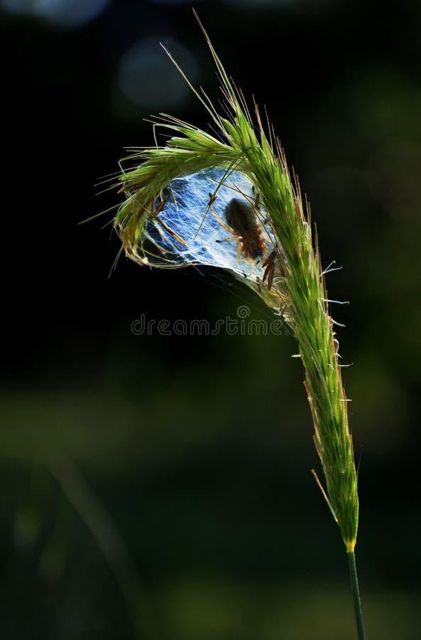 grano e ragno fotografie stock libere da diritti