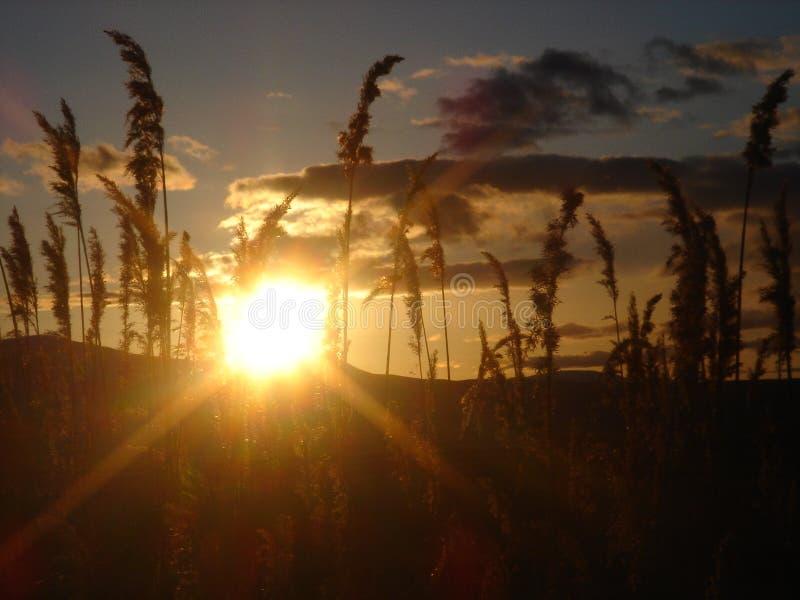 Grano en la puesta del sol fotografía de archivo libre de regalías