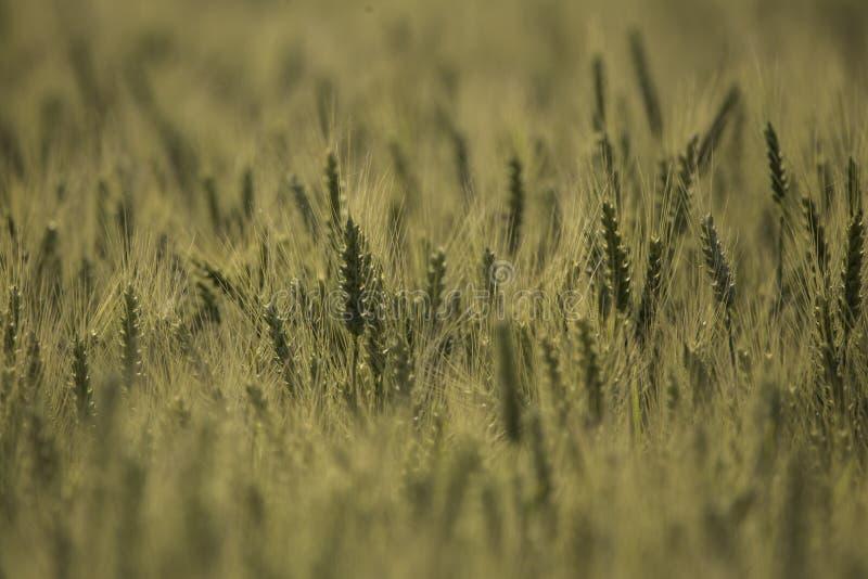 Grano en un campo de granja fotografía de archivo libre de regalías