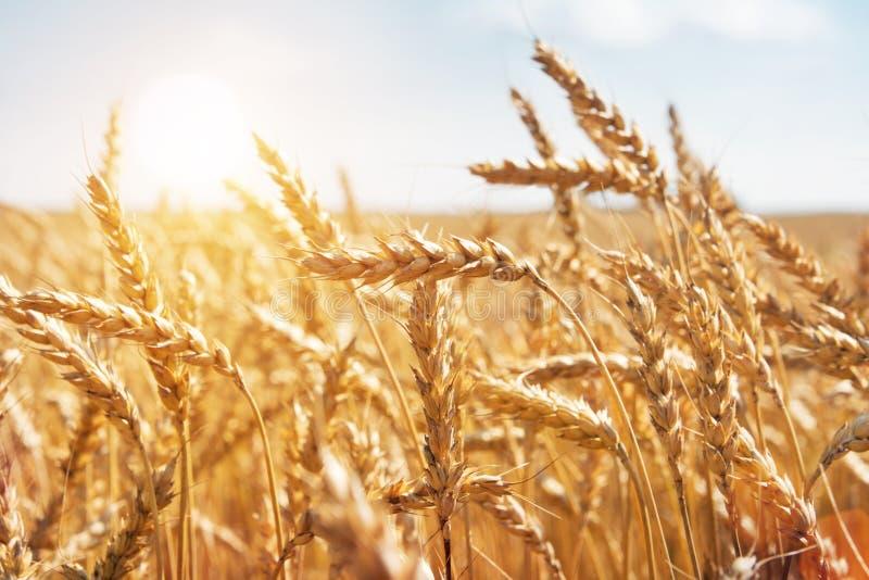 Grano en un campo y un sol de granja imagen de archivo