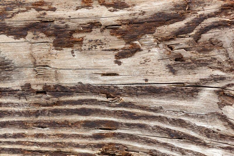 grano marrón y blanco del registro de madera fotos de archivo libres de regalías