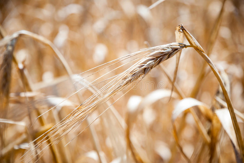 Grano, primo piano di grano in un campo fotografia stock libera da diritti